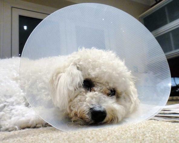 cuidados luego de castración en perros