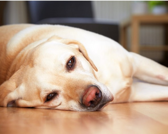 síntomas de perforación intestinal en perros
