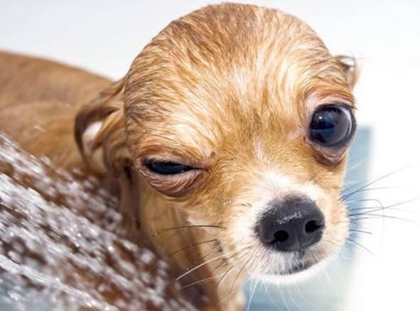 enfermedades de los ojos en los perros por infección