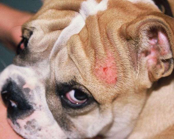 La sarna se contagia por los perros