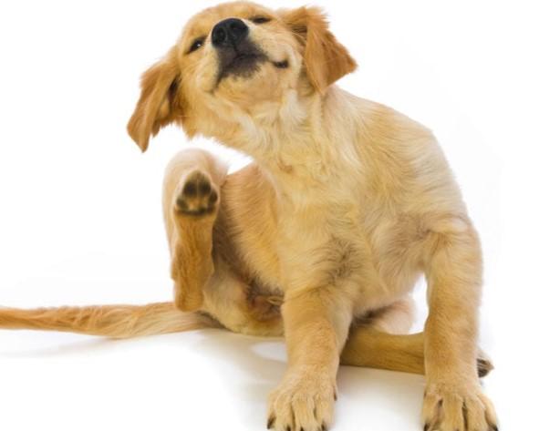síntomas de la sarna en perros